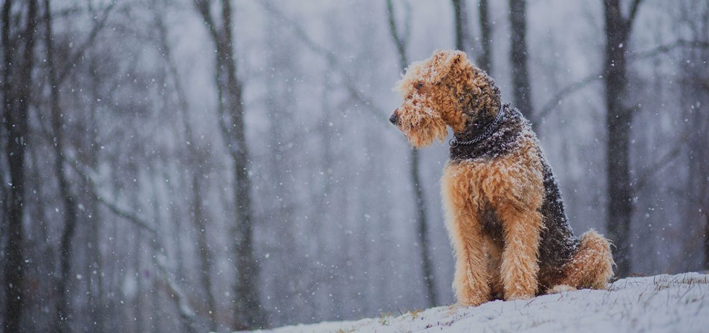 Airedale talvella